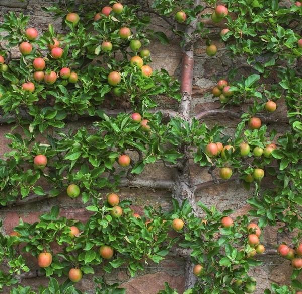 Представьте: выходите вы из дома и срываете спелое яблоко, которое растет прямо на стене.