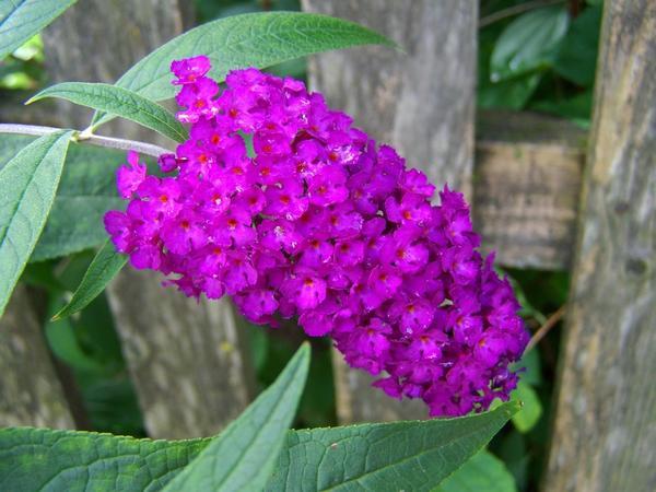 Ароматные соцветия розовой, красной, белой или фиолетовой окраски летом привлекают многочисленных насекомых.