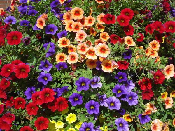 Цветки этих растений одеваются в самые цветастые наряды