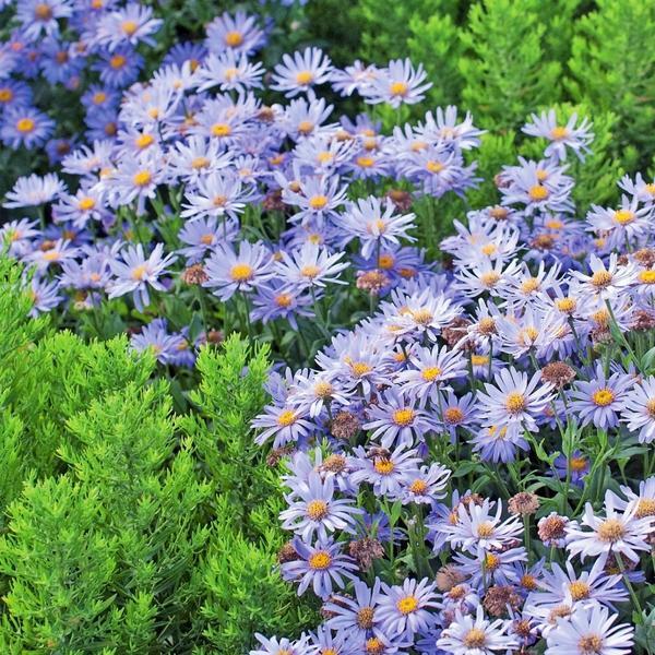 Растения с фиолетовыми цветками — очень красивое успокоительное лекарство!
