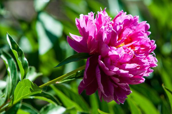 Чтобы любоваться цветением пионов в сезон, цветоводы сажают их с конца августа до середины октября.