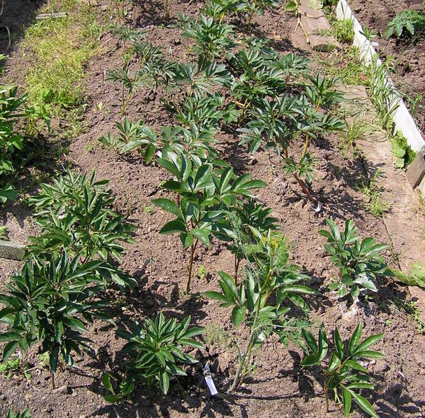 На следующий год новые посадки отрастают позже старых пионов. Обычно прорастает 1-2 стебля, а само растение в рост достигает 30-50% от взрослого растения.