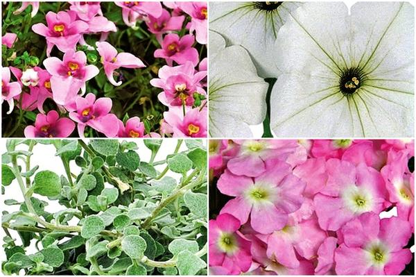По часовой стрелке: 1) немезия зобовидная Genta Pink, 2) петуния Surprise White, 3) вербена Empress Soft Pink Charme, 4) Бессмертник Silver Star.