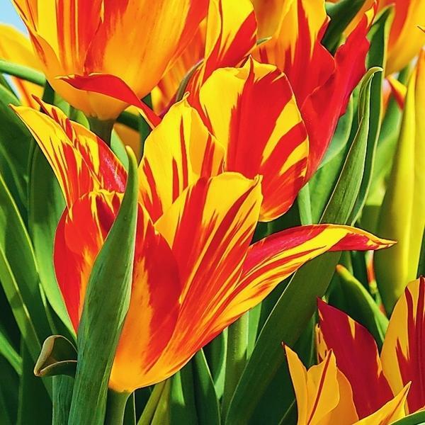 Луковицы лилиецветных тюльпанов невелики по размеру, но это не отражается на их цветении.