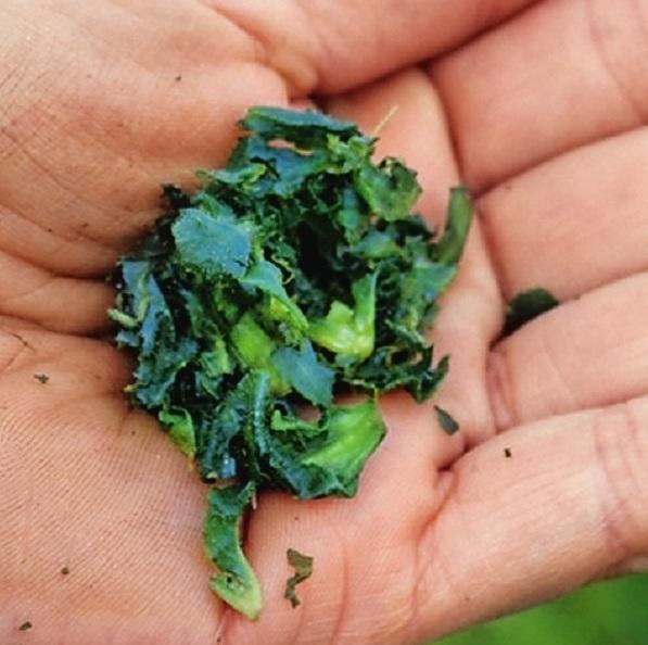 Нужно сорвать несколько листьев и растирать их до тех пор, пока травяная масса не станет мягкой и влажной.