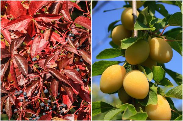 Декоративный виноград и слива желтая ближе к осени живописны своими плодами.