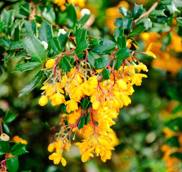 Весной сад украшают цветы барбариса, осенью - его плоды и разноцветная листва.