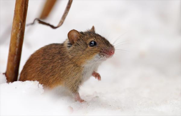 Снег под деревьями и кустами неплохо притоптать, уплотнить. Это усложнит пробивание дорог-норок в снегу грызунам и замедлит его таяние весной.