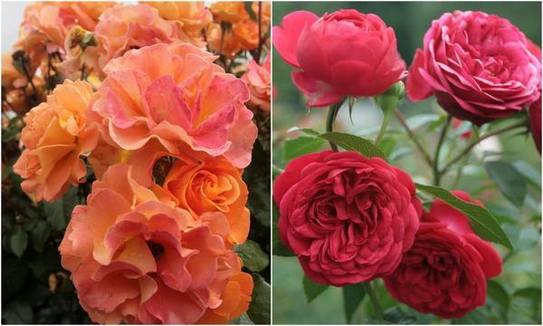 Слева: Роза флорибунда WESTZEIT. Справа: Out of Rosenheim /W. Kordes, Sohne