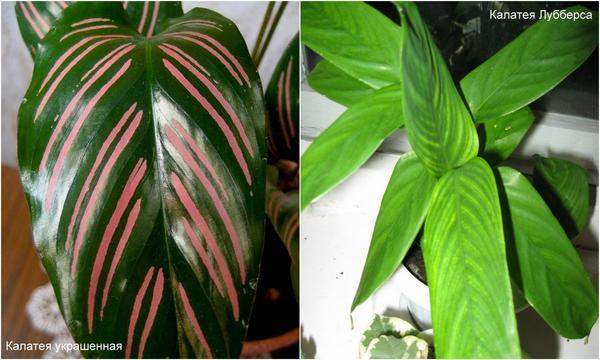Слева: Калатея украшенная. Справа: Калатея Лубберса