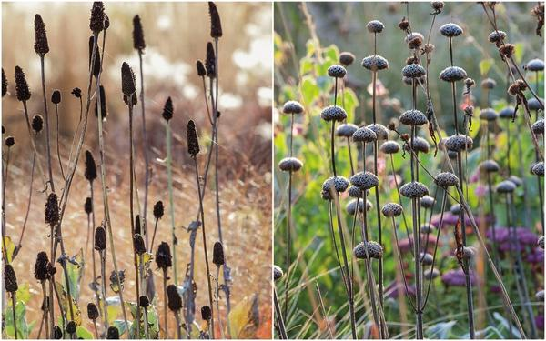 Слева: Продолговатые свечки рудбекии гигантской (Rudbeckia maxima) со временем приобретают насыщенно-коричневый оттенок. Справа: Словно бусины нанизаны соплодия зопника Рассела (Phlomis russeliana) на прочные цветоносы.