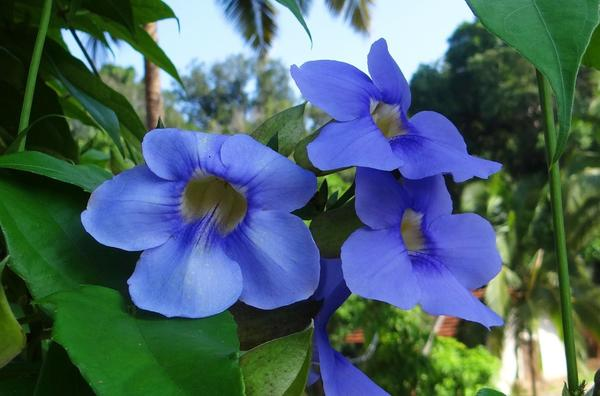 Тунбергия крупноцветковая (Thunbergia grandiflora)