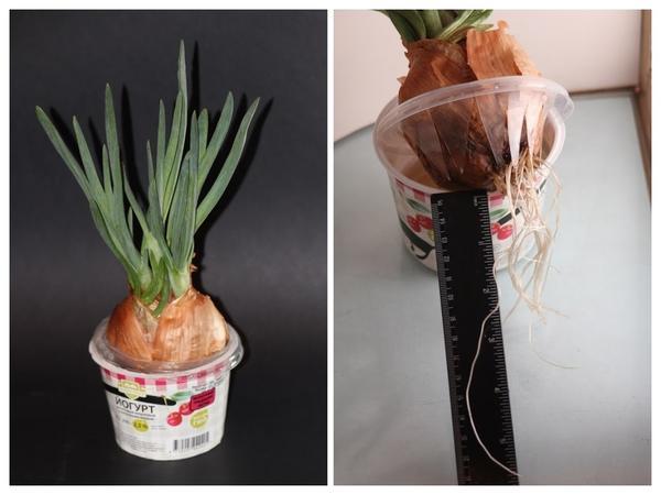 На 10 дней лук нужно поместить в прохладное затененное место, чтобы интенсивно формировалась корневая система.