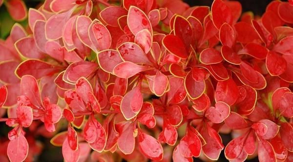 Барбарис Тунберга Golden Ring. Фото с сайта gardenwave.com.ua