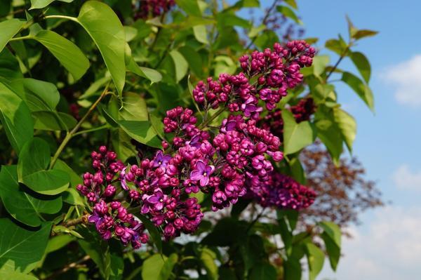 Сирень цветет в мае-июне