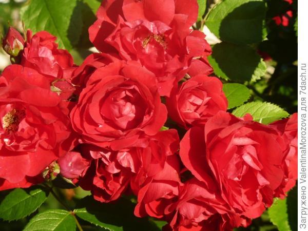 роза от хорошей бабушки