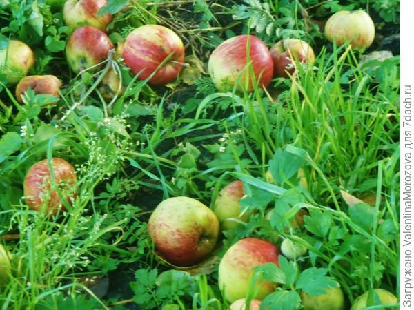 Россыпь яблочек