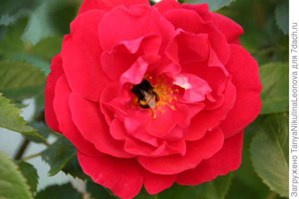 цветок Фламентац