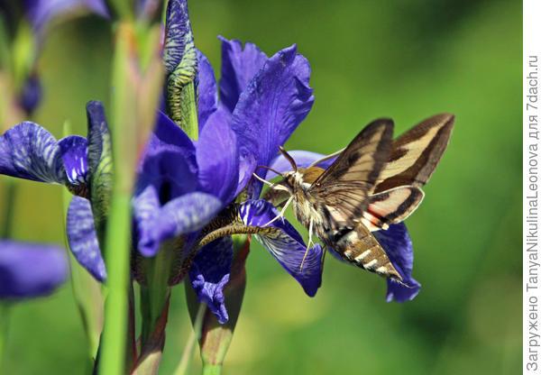 Бабочка бражника