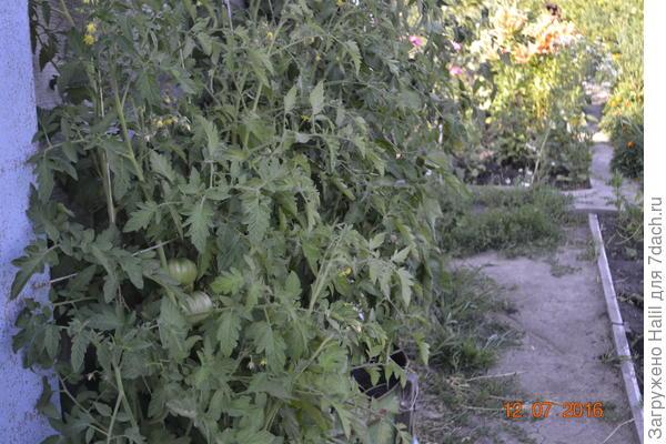А эти помидоры посажены под навесом,дождь к ним не попадало и до сих пор плодоносят и даже цветут.