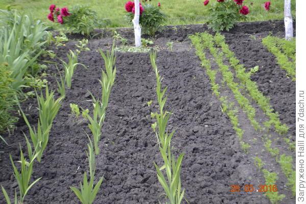 На фото с правой стороны морковь,при посадке сверху семян немного посыпал перегноем.
