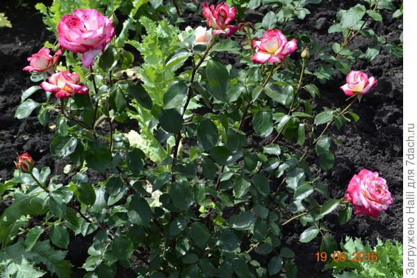 тоже розы.