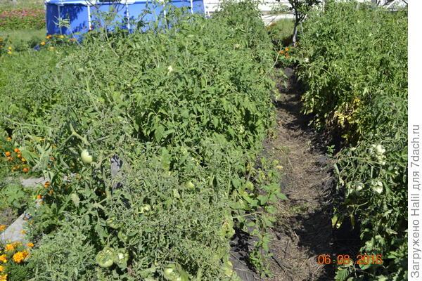 Вот так росли помидоры и вся ботва после дождя почернел.
