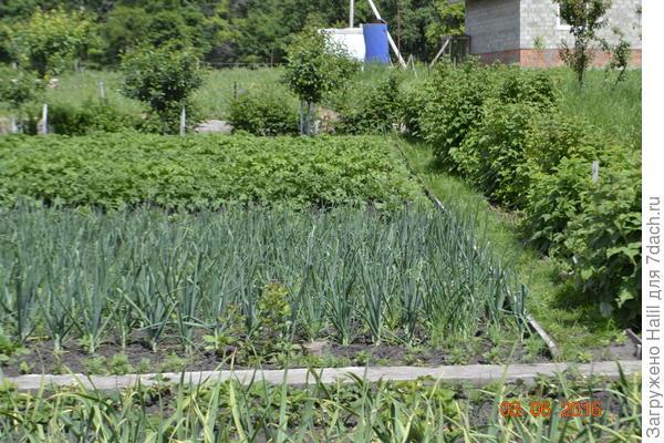 А вот между луком и малиной земляная дорожка ,правда засеяно газонной травой,чтобы внуки могли ходить босиком.