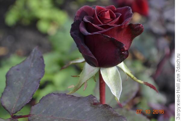 А эти розы,последние цветы перед заморозками.