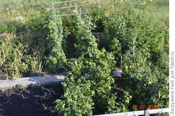 На фото,на дальном плане огурцы на шпалере и уже собираем урожай.