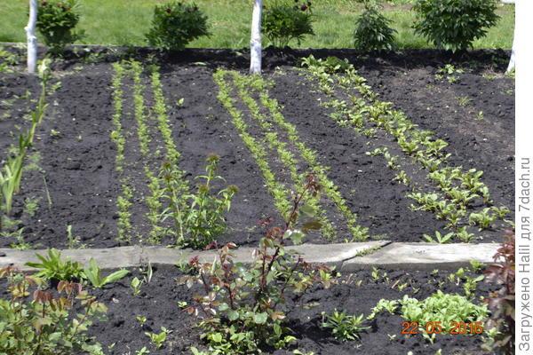 На этих грядках посеяны морковь,свекла.Между рядами сделаю бороздки для полива.