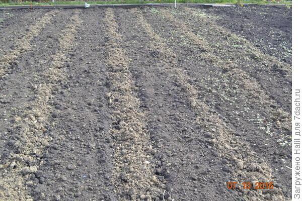 Темная полоса,посажен чеснок в три ряда по 15 см. между рядами,и замульчирован навозом-перегноем.А светлая полоса навоз ширина полосы 35-40 см.Весной в эту полосу высадим рассаду помидор и перца. .