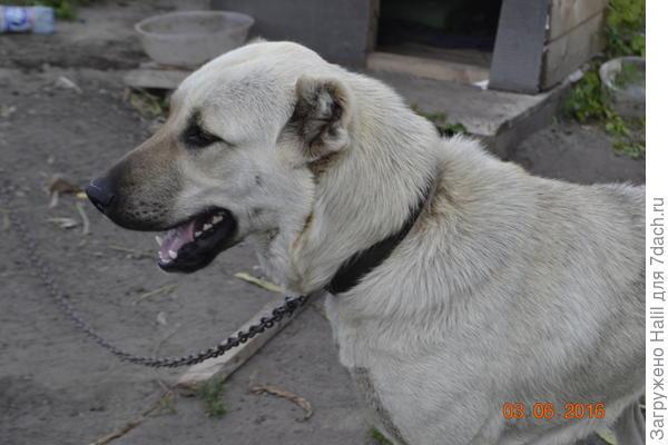 Красивая собака?зовут Герда,породы Алабай.