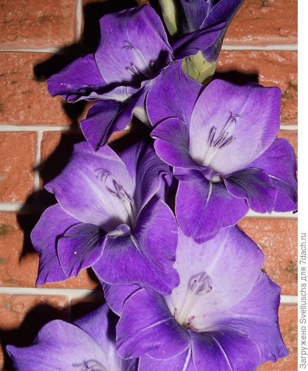 Фиолетовое великолепие