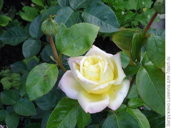 Роза,которая выжила