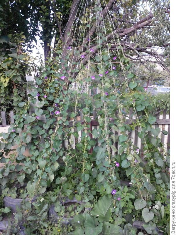 Я хочу посадить виноград