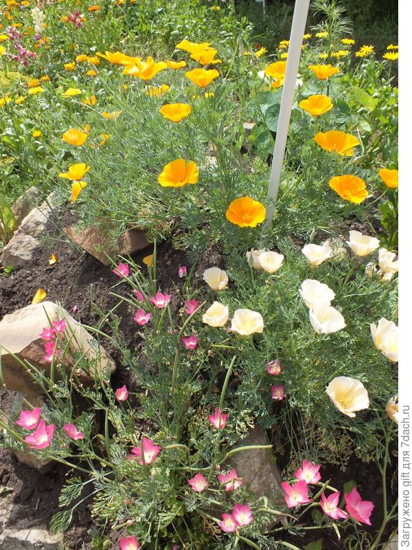 Выращивание из семян эшшольции 8