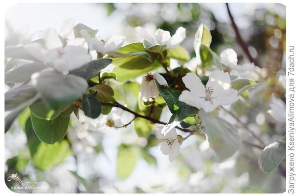Цветет айва