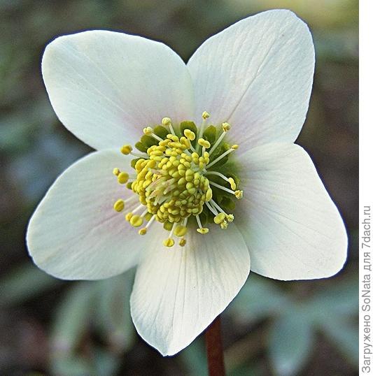 К самым ранним сортам, цветущим уже зимой, относится сорт 'Praecox'
