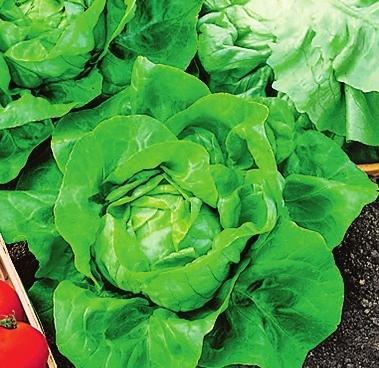 Кочанный салат 'John'