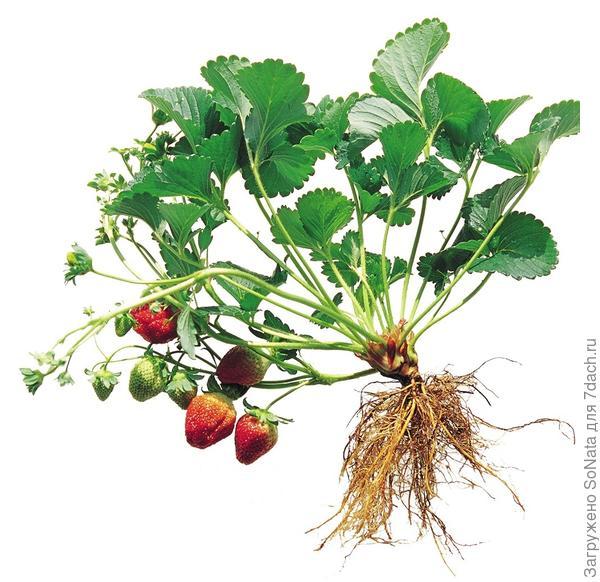 Одним из таких методов, уже достаточно распространенным в странах Западной Европы, стало получение рассады садовой земляники (клубники, по-нашему) фриго (frigo — в переводе с итальянского — холодильник).