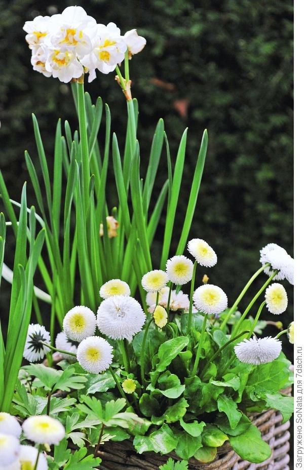 Маргаритки цветов и уход 65