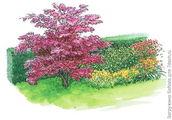 Краснолистный клен дланевидный 'Atropurpureum' гармонирует с травянистыми многолетниками в цветнике. Этот декоративный куст достигает 3-4 м в высоту.