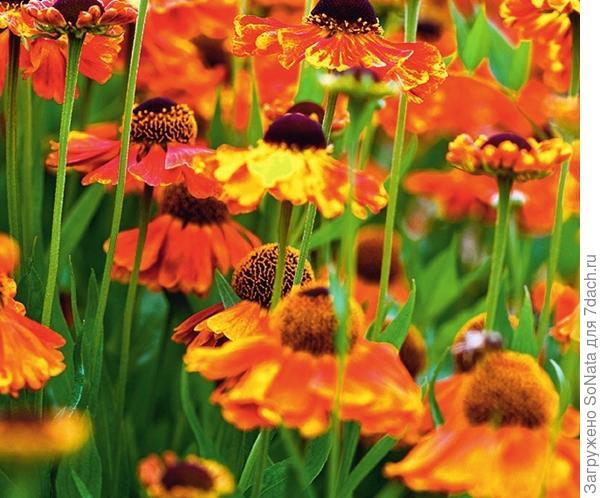 Гелениум 'Sahin's Early Flowerer' цветет невероятно долго -с июня до сентября. Цветки как магниты притягивают в сад многочисленных насекомых-опылителей. Растение этого сорта - идеальный кандидат для букетов.
