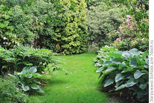 Высокорослые сорта лучше выбирать для одиночных посадок или живого бордюра для шелковистой лужайки.