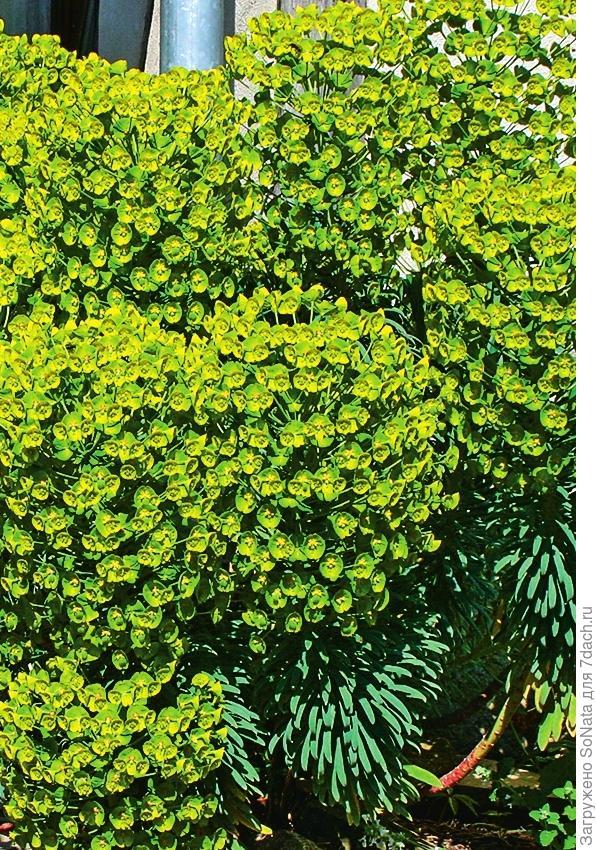 Молочай харациас (Euphorbia characias)