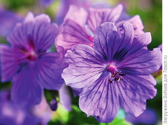 Герань великолепная Geranium magnificum