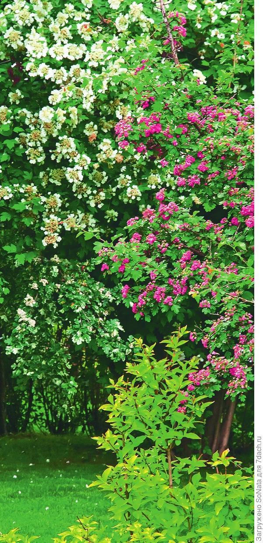Боярышник с розовыми цветками помогает приятно разнообразить пейзаж.