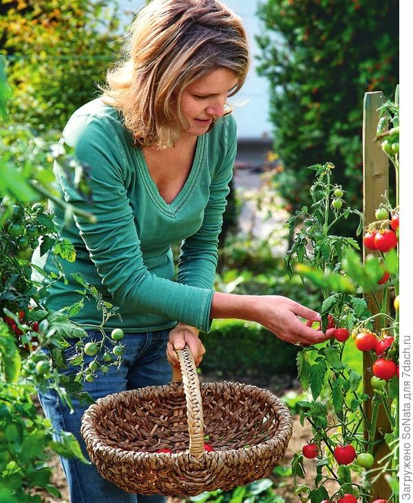 Синьор помидор некапризен, но только тот, кто уважит его правильным обращением, может рассчитывать на богатый урожай!