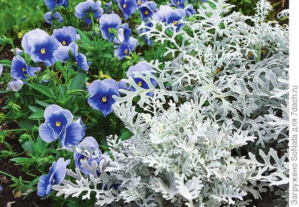 Голубой и серебристый -эти морские оттенки подарят вашему саду вариегатные сорта осоки, циннерария фиалка Витрокка и агератум.